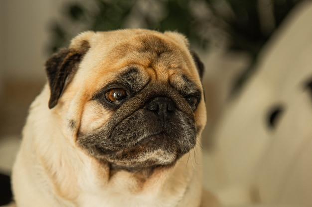 Il cane sveglio della razza del carlino fa un ritratto divertente del fronte