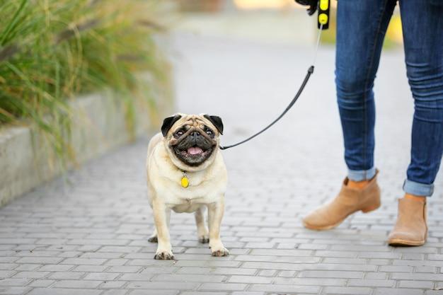 Cane sveglio del carlino con il proprietario che cammina all'aperto
