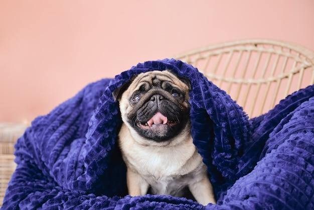Cane sveglio del carlino con plaid caldo a casa. concetto di stagione di riscaldamento