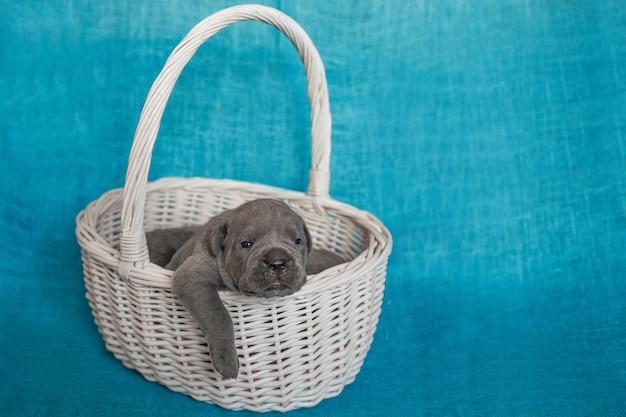 Simpatici cuccioli cane corso in un cesto di rattan.sfondo blu