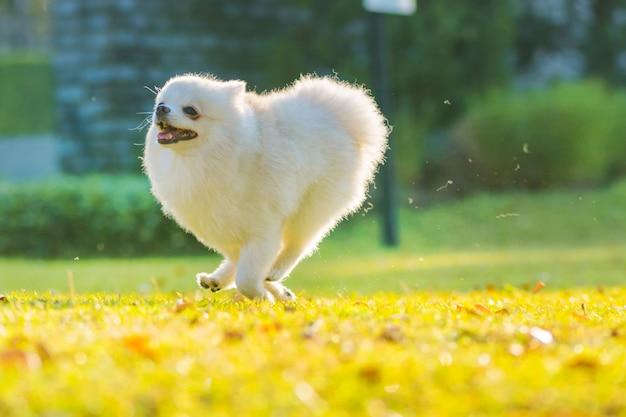 Il cane pomeranian dei cuccioli svegli funziona sull'erba con felicità.