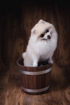 Cane sveglio di pomeranian dei cuccioli che si siede su un secchio di legno
