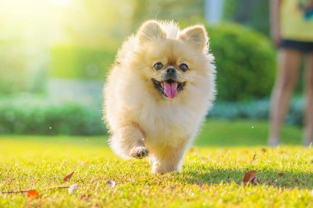 Il cane pechinese di razza mista pomeranian dei cuccioli svegli funziona sull'erba con felicità