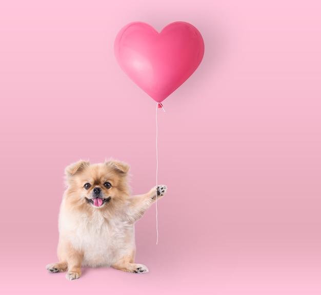 Simpatici cuccioli pomerania razza mista cane pechinese seduto tenendo un cuore a forma di palloncino isolato su sfondo rosa