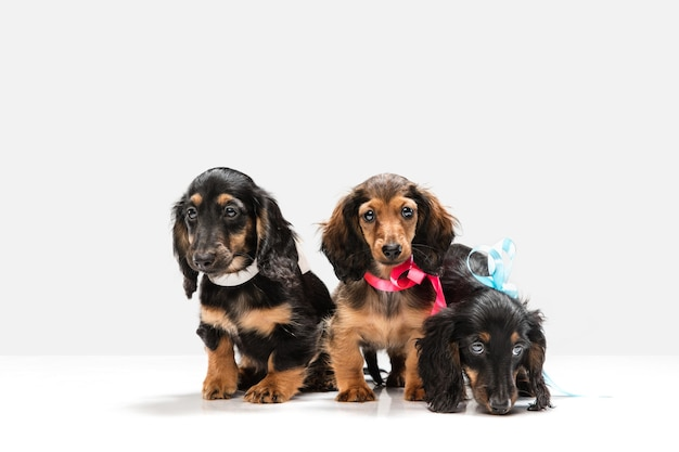 Cane bassotto cucciolo carino in posa isolato sopra il muro bianco