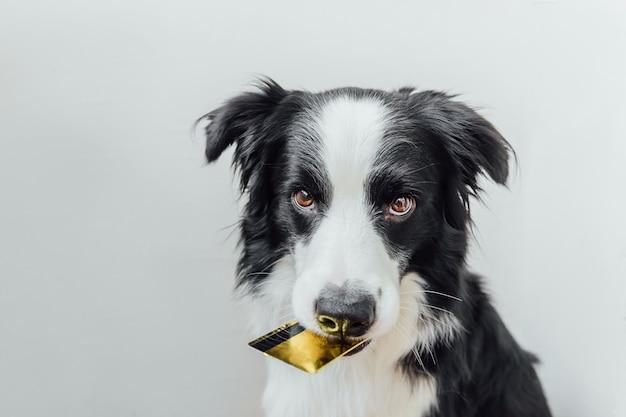 Border collie sveglio del cane del cucciolo che tiene la carta di credito della banca dell'oro in bocca isolata su bianco