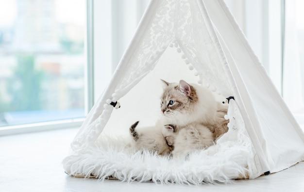 Simpatici gattini ragdoll che dormono vicino alla loro mamma gatta all'interno di una tenda bianca sulla pelliccia. adorabile famiglia felina di razza con gattini durante il servizio fotografico in studio