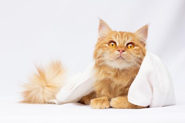 Gatto rosso sveglio che si trova sotto la coperta isolata su bianco