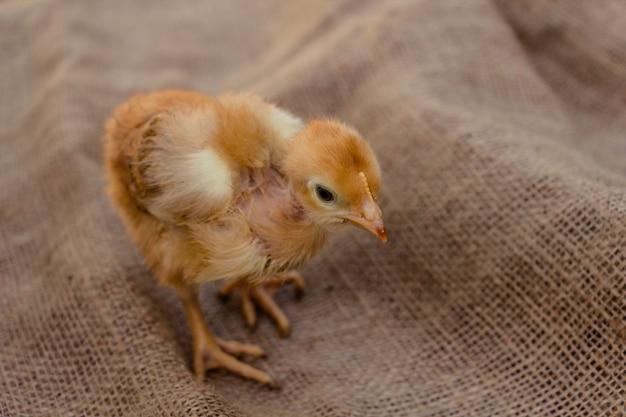 Simpatico pollo rosso su sfondo di tela agricoltura