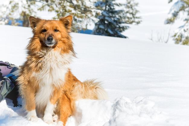 Simpatico cane rosso seduto sulla neve vicino ai pini