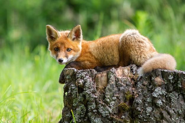 Carino volpe rossa, vulpes vulpes, cucciolo sdraiato su un ceppo di albero nella foresta di primavera.