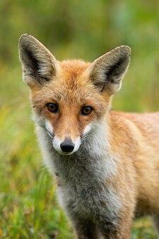 Simpatica volpe rossa con grandi occhi