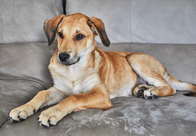 Simpatico cane dai capelli rossi con orecchie pendenti è seduto sul divano.