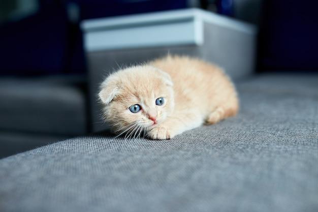 Carino gattino dai capelli rossi sul divano grigio in camera, gatto domestico, curioso gattino, piccolo gatto a casa.