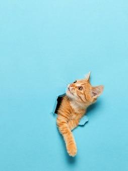 Un simpatico gattino rosso fa capolino attraverso un buco nella carta. animale domestico giocoso e divertente, vuoto per pubblicità, poster, vendita, clinica veterinaria.