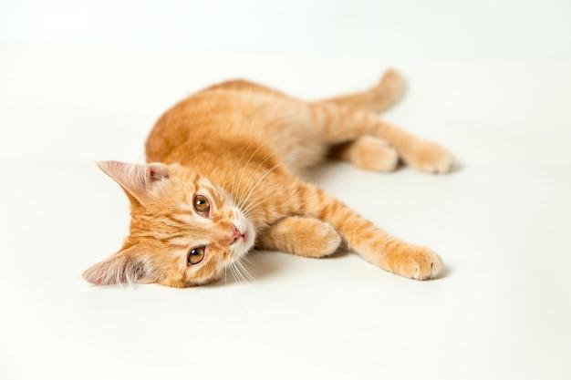 Gattino rosso sveglio su sfondo bianco. animale domestico giocoso e divertente. copia spazio.