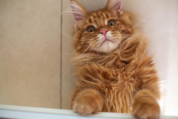 Gattino rosso sveglio del maine coon che gioca sul pavimento. spazio per il testo