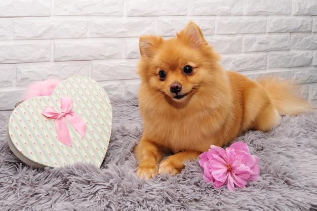 Simpatico spitz rosso con scatola regalo a forma di cuore e fiori