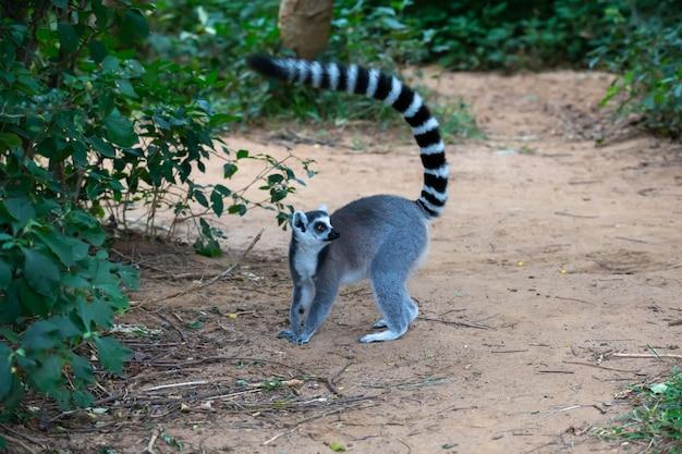 Lemure dalla coda ad anelli carino in natura
