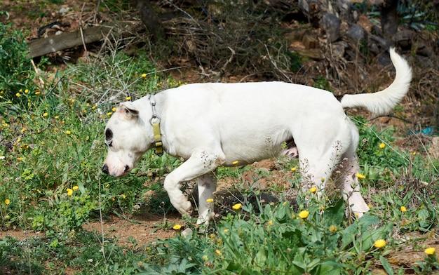 Un simpatico cane bull terrier in esecuzione
