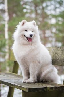 Il simpatico cane bianco samoiedo è seduto su una panchina nella foresta invernale.