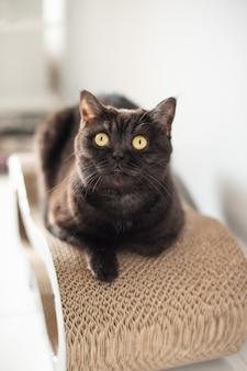 Ragazza sveglia del gatto scozzese che si siede sulla sua posta di scratch e che guarda, ritratto del gatto del primo piano