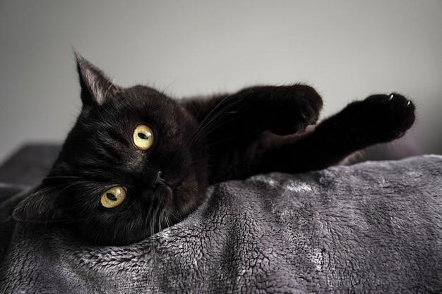 Simpatico gatto scozzese si trova su un letto e guarda la telecamera, primo piano