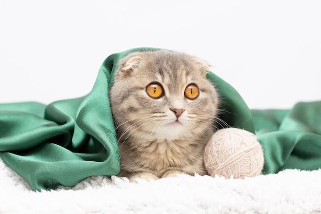 Simpatico gatto scottish fold sdraiato sulla schiena sotto la coperta isolata su bianco