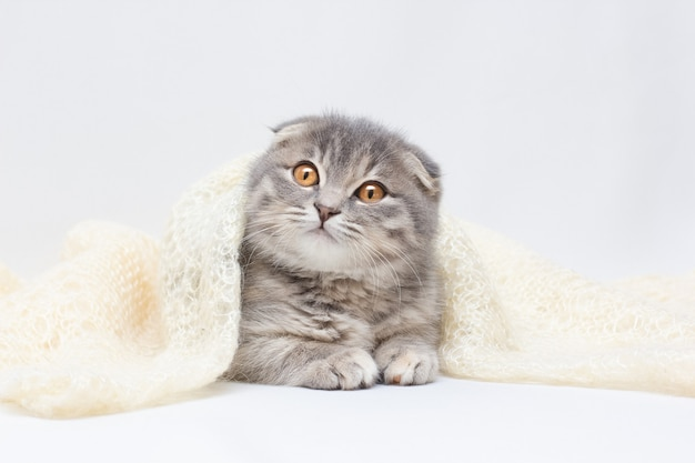 Il simpatico gatto scottish fold