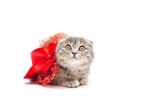 Carino gattino scottish fold con nastro rosso