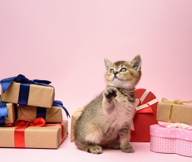 Il simpatico gattino cincillà dorato scozzese si siede su una superficie rosa circondata da scatole regalo