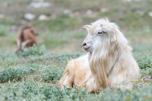Pecore sveglie su un campo di pascolo verde in campagna. ritratto di un animale.
