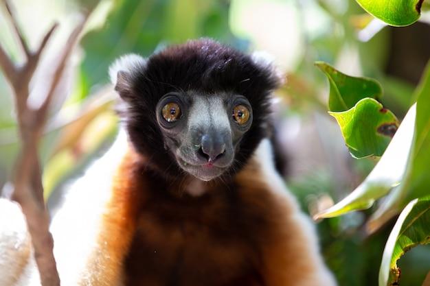 Lemure sifaka carino su un albero