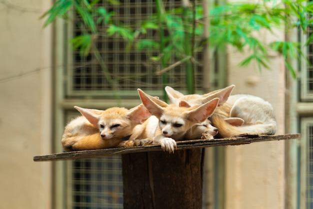 Fennecs addormentati carino sullo scaffale nello zoo.