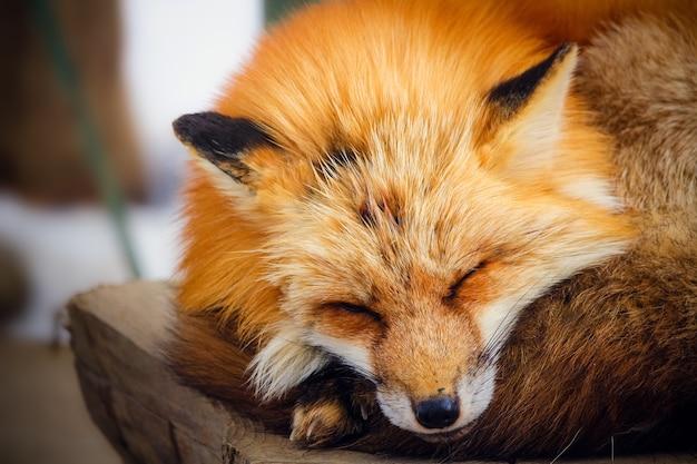 Carino dormire volpe rossa in inverno