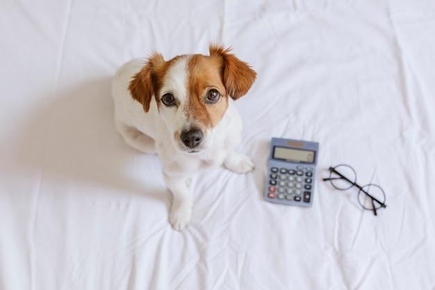 Ragioniere di piccolo cane sveglio che pensa e che calcola con il calcolatore sul letto