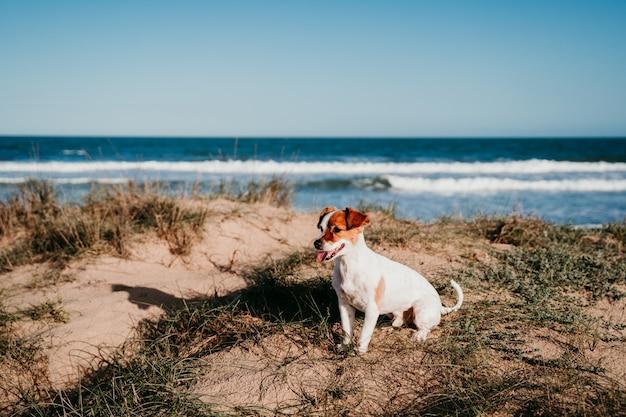 Cane sveglio di russell della piccola presa alla spiaggia. seduto sulle dune al tramonto
