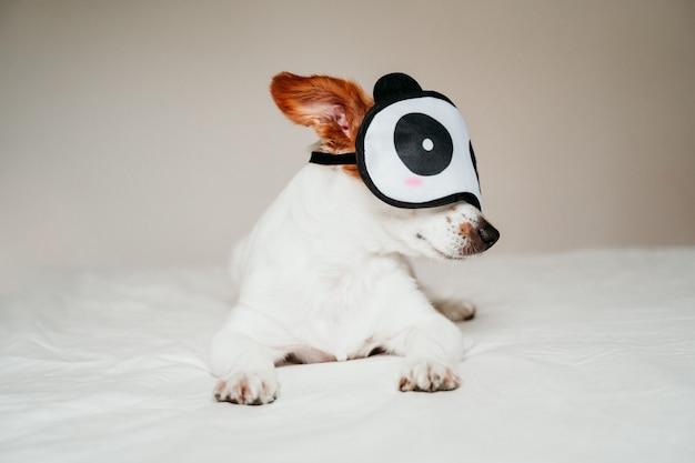 Cane sveglio del piccolo russell della presa che si trova sul letto e che indossa una maschera di sonno del panda divertente