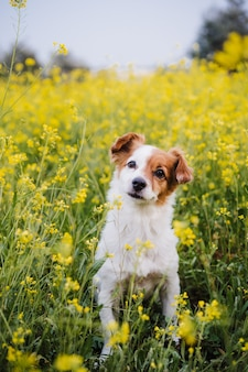 Carino piccolo jack russell cane seduto all'aperto in fiori gialli sullo sfondo del prato. tempo di primavera, animali felici nella natura