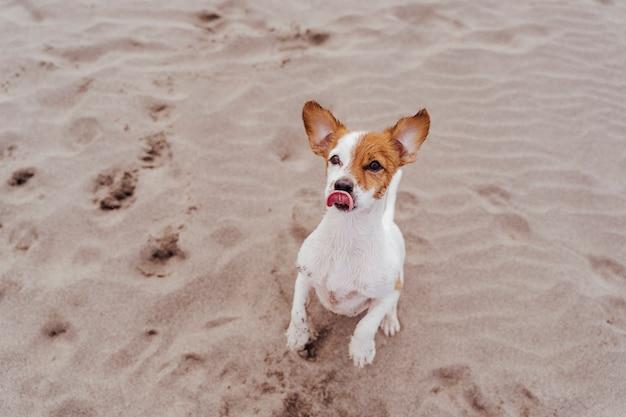 Cane sveglio del piccolo russell terrier della presa che cammina su due zampe che chiedono gli ossequi deliziosi. animali domestici all'aperto e stile di vita. b