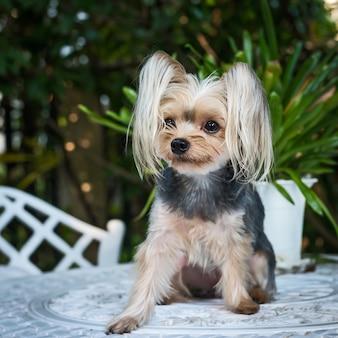 Carino piccolo yorkshire terrier