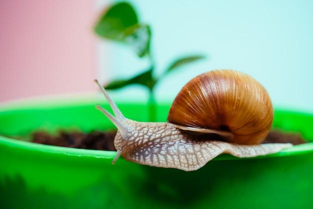 Lumaca carina vicino alla pianta verde. rimedi naturali. fine adorabile della lumaca su. poca melma con conchiglia o lumaca in vaso.