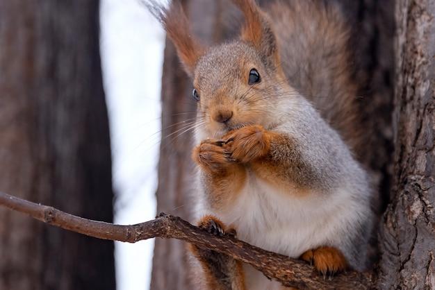 Lo scoiattolo sveglio mangia una nocciola nel parco dell'inverno