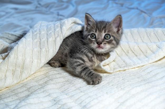 Gattino a strisce britannico sveglio dello shorthair che si trova sulla coperta bianca