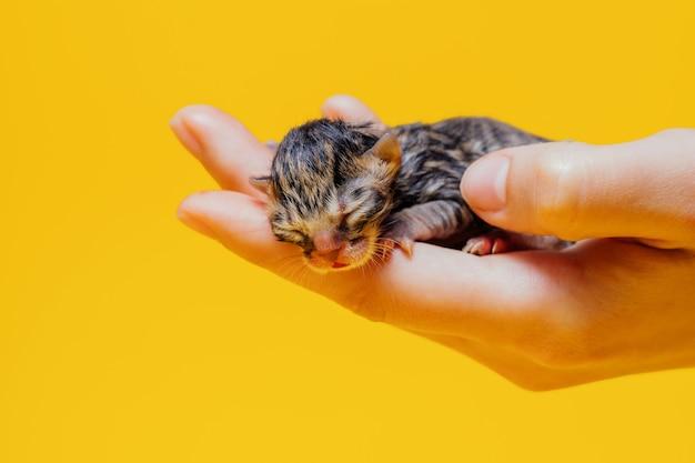 Gattino a strisce sveglio con gli occhi chiusi che dorme sul palmo della persona irriconoscibile sulla parete gialla