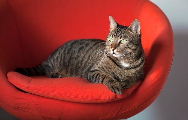 Gatto domestico a strisce sveglio che si siede su una sedia rossa.