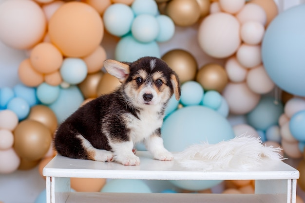 Simpatico cucciolo di welsh corgi con palloncini