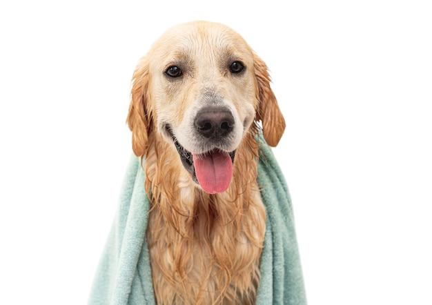 Carino bagnato golden retriever cane che indossa in asciugamano dopo il lavaggio isolato su sfondo bianco