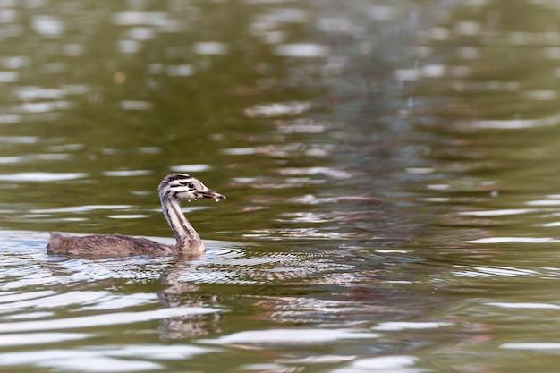 Carino, bagnato giovane svasso maggiore, podiceps cristatus, galleggiante sulla superficie dell'acqua del lago di pesca