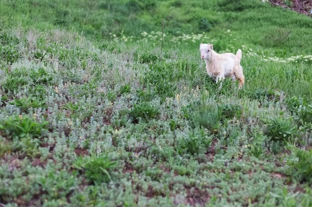 Capra bianca sveglia del bambino nell'erba verde del prato.